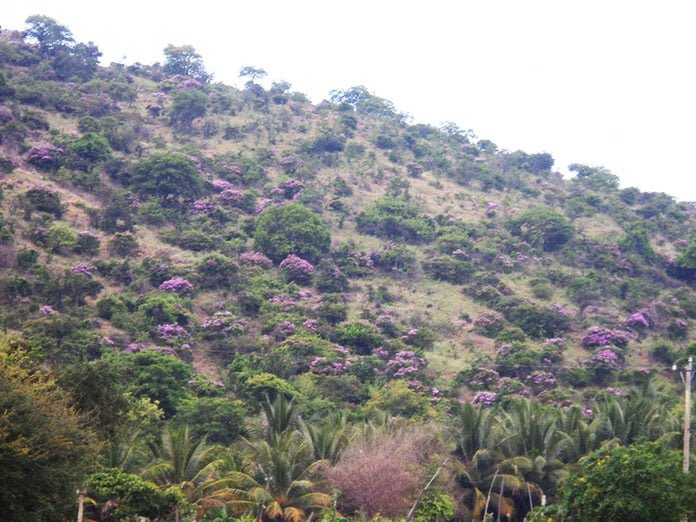 rừng hoa bằng lăng
