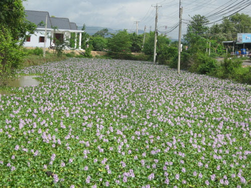 Hoa lục bình ở Hàm Thuận Bắc