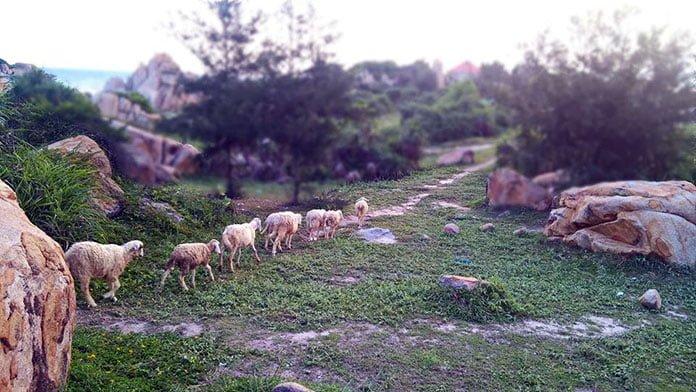 Đàn cừu ở khu du lịch