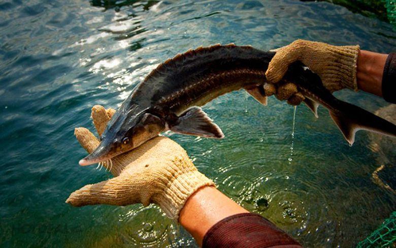 Cá tầm ở Đa Mi