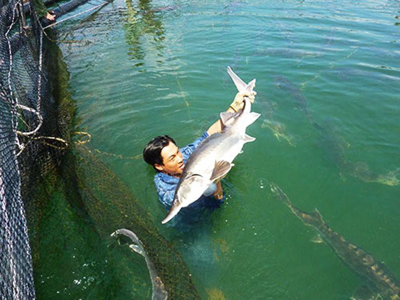 Cá tầm đa mi