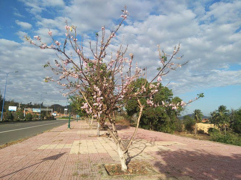 Hoa đỗ mai ở Phan Thiết