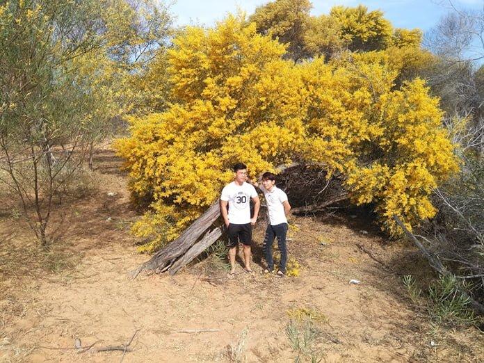 sống ảo với rừng hoa vàng keo lá tràm
