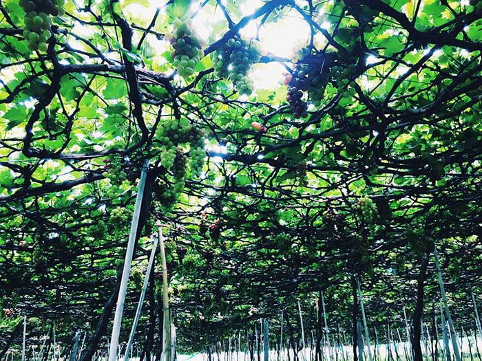 Sống ảo với vườn nho ở Phước Thể