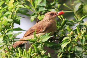 Ớt chim Bình Thạnh