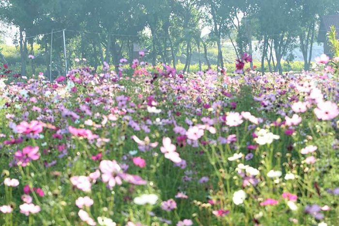 cận cảnh cánh đồng hoa cánh bướm