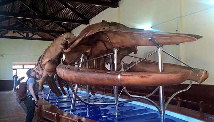 Bộ xương cá voi