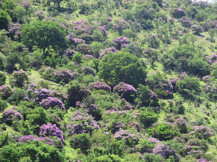 Rừng hoa bằng lăng Tuy Phong