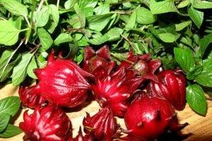 Bông bụp giấm – Atiso đỏ – Hibicus tươi Tuy Phong