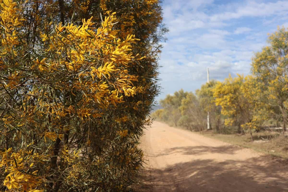 Hoa keo tràm trên đường Cây Cám