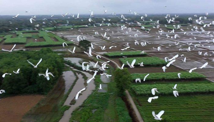 Cò đậu ngập trắng khu vực dự án sân bay Phan Thiết