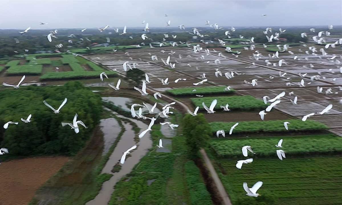 Đàn cò trắng bay lượn trên cánh đồng - Ảnh Hồ Cầu/TTXVN